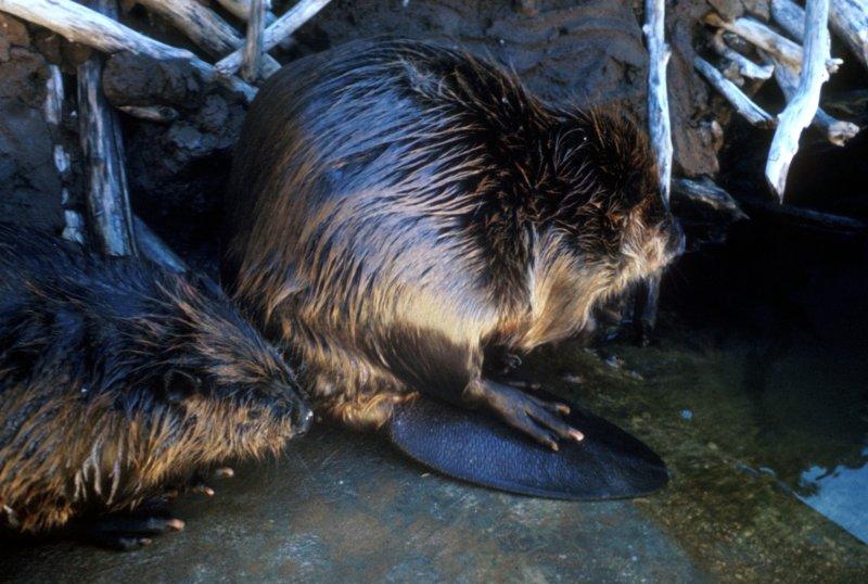 A beaver couple