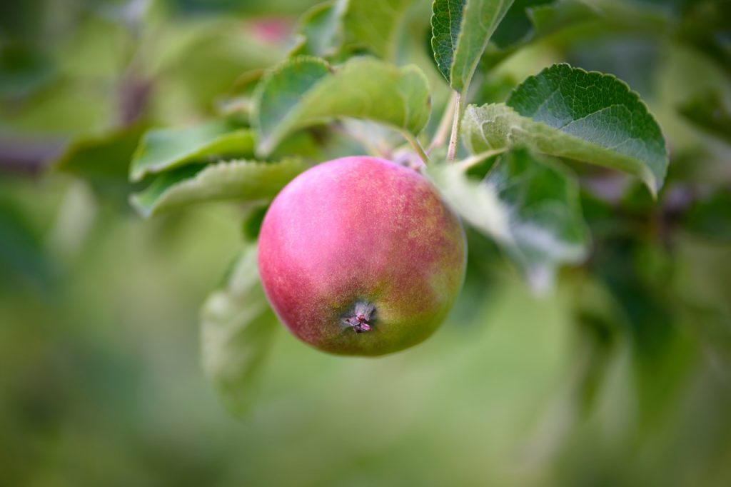 A wild apple or crabapple hanging on a branch and surrounded by leaves