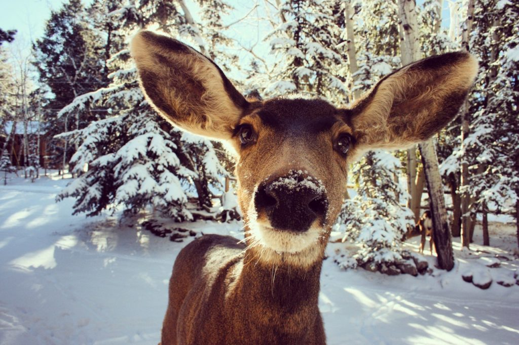 This doe has her nose right up in the camera in a winter forest.